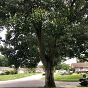tree front yard