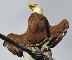 eagle shannon